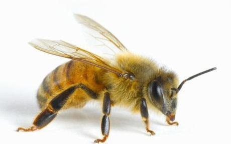 Bee venom, Life and Death in a Sting