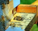 guard-bee