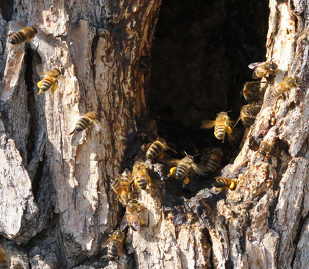 Used for both architecture and immune support, propolis, a bee's sucess